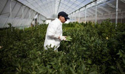 Ведущий американский врач считает, что марихуана может быть полезна