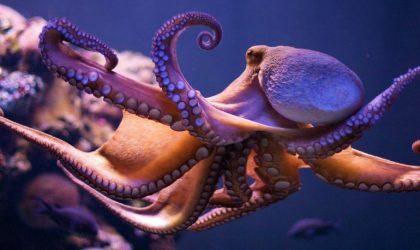 Ученые дали MDMA осьминогам, чтобы понять их социальное поведение